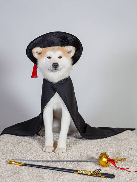 dog akita inu musketeer stock photo