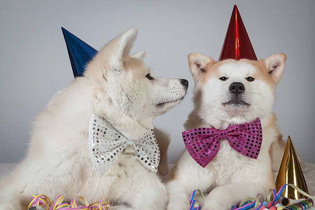 dog akita inu party dress stock photo
