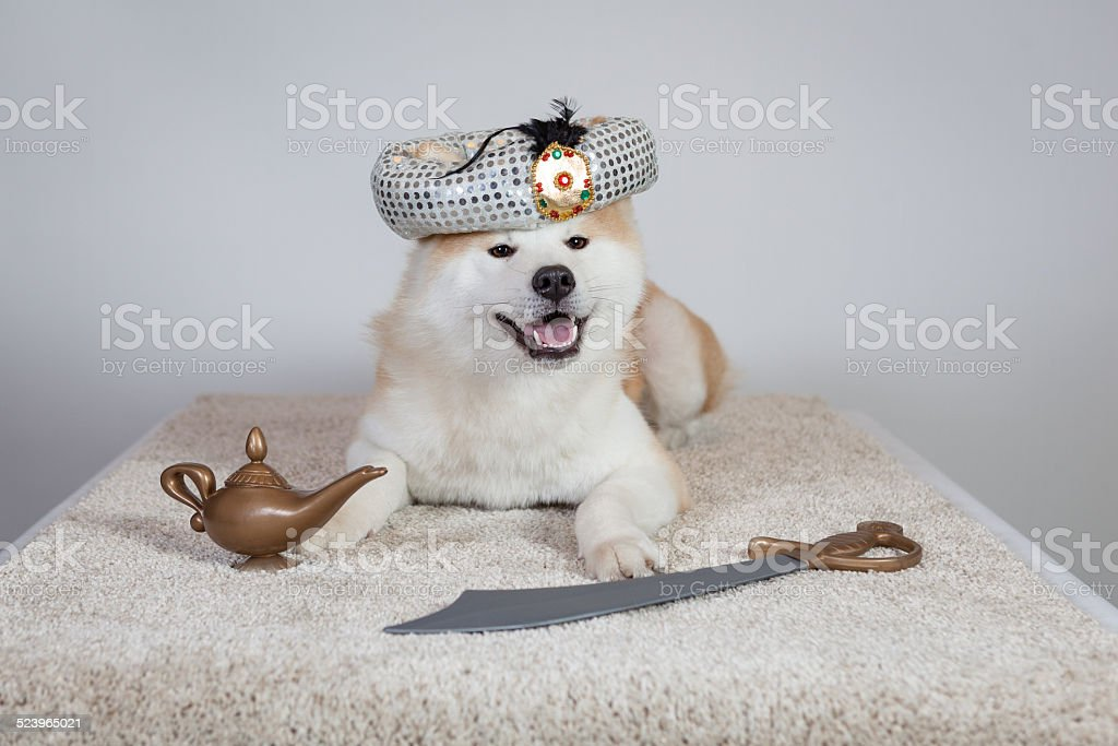 dog akita inu prince of persia stock photo
