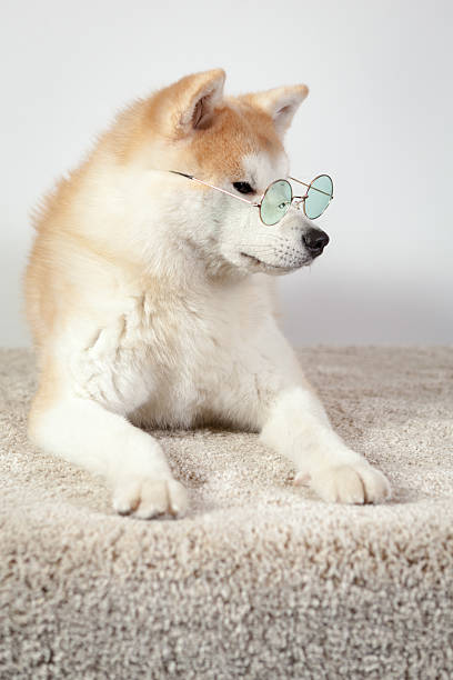 dog akita inu professor stock photo