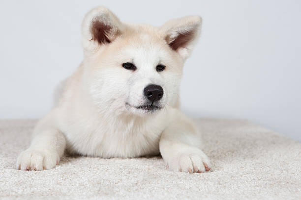 dog akita inu sceptical stock photo