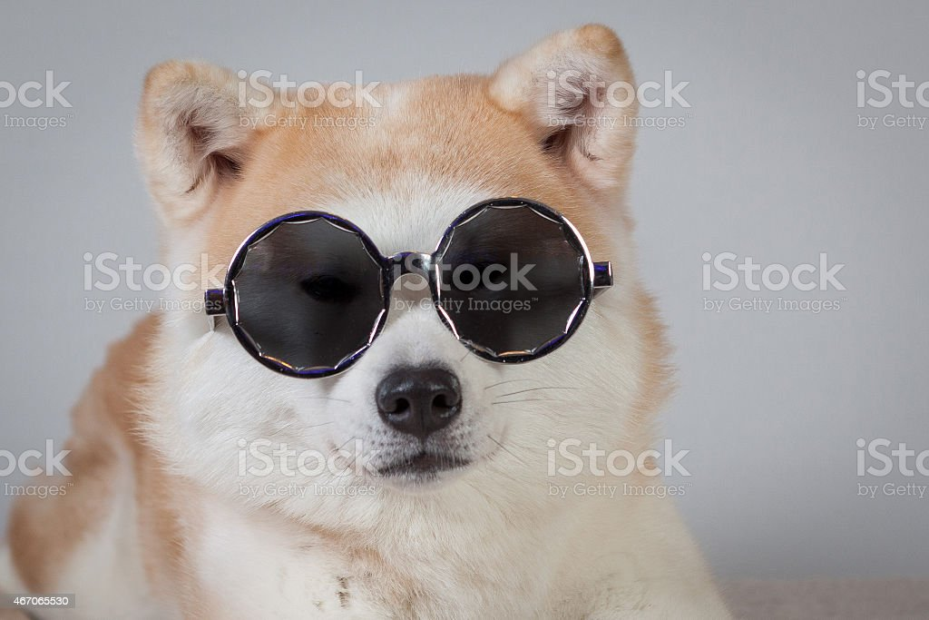 dog akita inu sunglasses stock photo