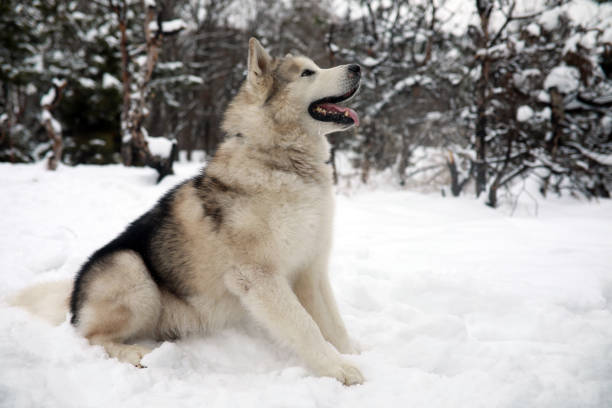 Dog Alaskan Malamute is sitting in the snow in winter forest. Dog Alaskan Malamute is sitting in the snow for a walk in winter forest. malamute stock pictures, royalty-free photos & images