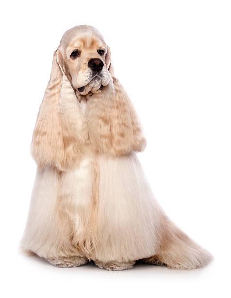 hund american cocker spaniel - amerikanischer cocker spaniel stock-fotos und bilder