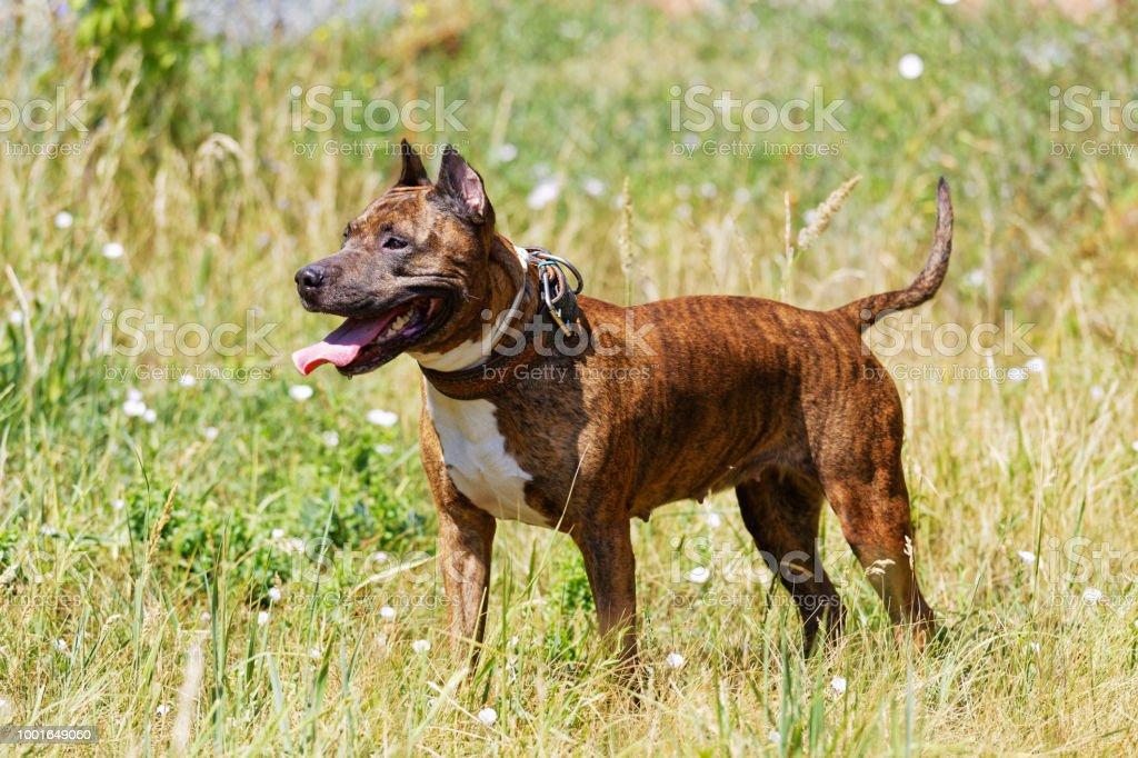 Hund-American Staffordshire Terrier auf dem Rasen – Foto