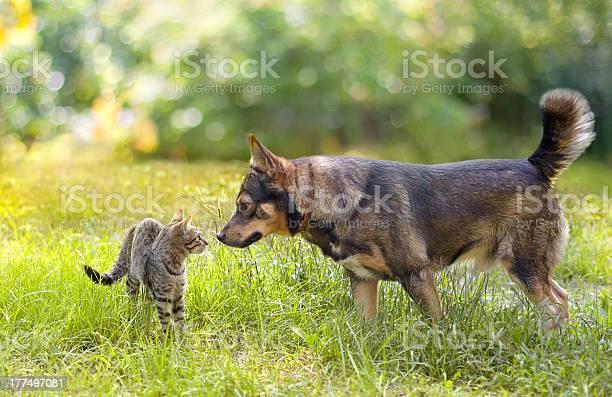 Dog and a cat encounter in the grass land picture id177497081?b=1&k=6&m=177497081&s=612x612&h=l0jammmqehynk60l62vrvguq5bm30eneqaizhgjl3mo=