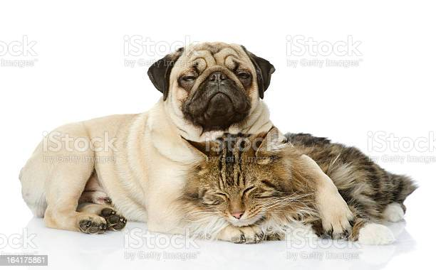 Dog and a cat laying together on a white background picture id164175861?b=1&k=6&m=164175861&s=612x612&h=y1m55yasjkfvtgsaczt5mj8rhww1ez xjg268jzuf1i=