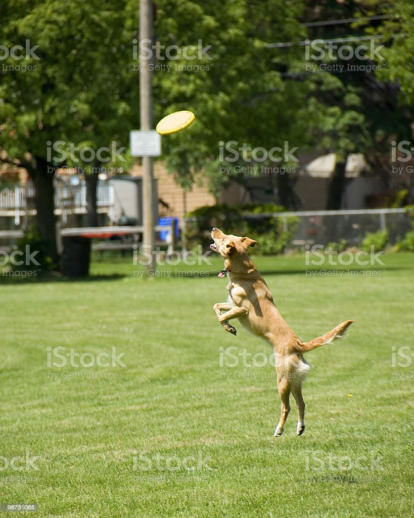 Dog and a Frisbee royalty-free stock photo