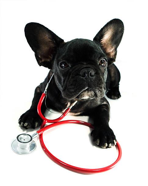 Hund mit einem Stethoskop – Foto