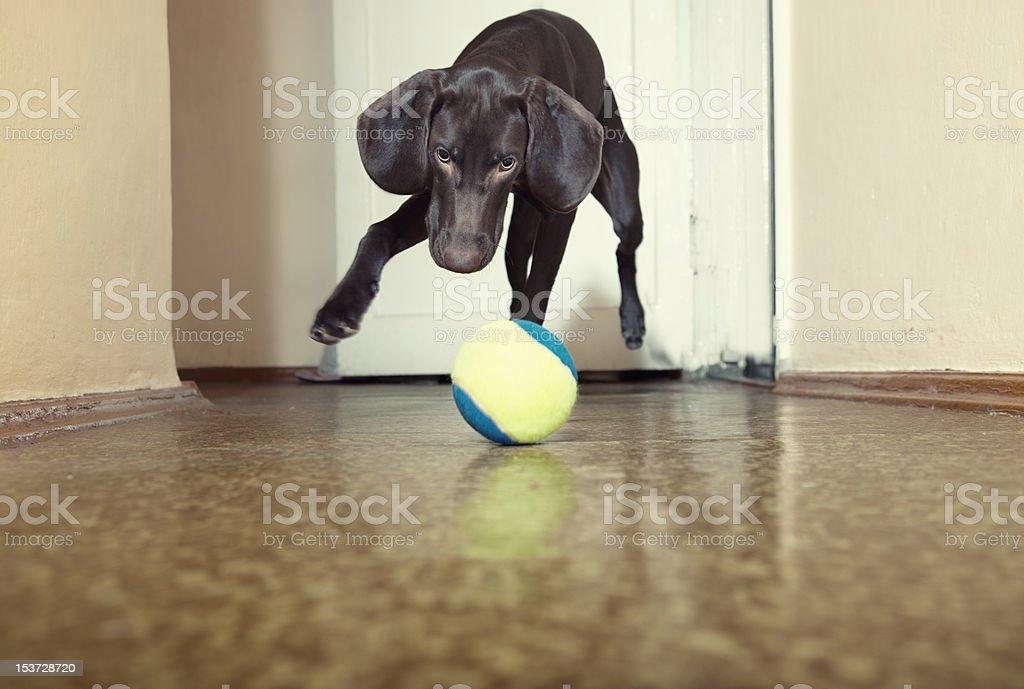 Dog and ball royalty-free stock photo