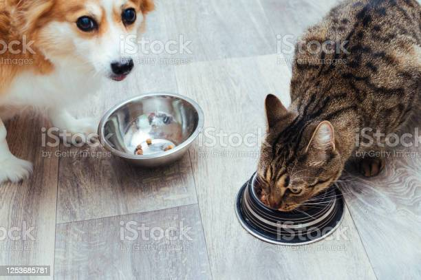 Dog and cat are eaten together in the kitchen closeup picture id1253685781?b=1&k=6&m=1253685781&s=612x612&h=ymxx xcxvvimxabtytxv uesf5byi6oudkyd 0j 7gi=