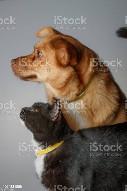 Dog and cat are playing on white background picture id1014834958?b=1&k=6&m=1014834958&s=612x612&h=sxzzkemaelrlwmszoo3ldo4u9rfyuy xgt9l7ts9dae=
