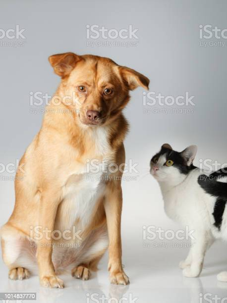 Dog and cat are playing on white background picture id1014837770?b=1&k=6&m=1014837770&s=612x612&h=aku3bfzm19eeqzfgavxdgm31ob4 ert opjaq7c7vga=