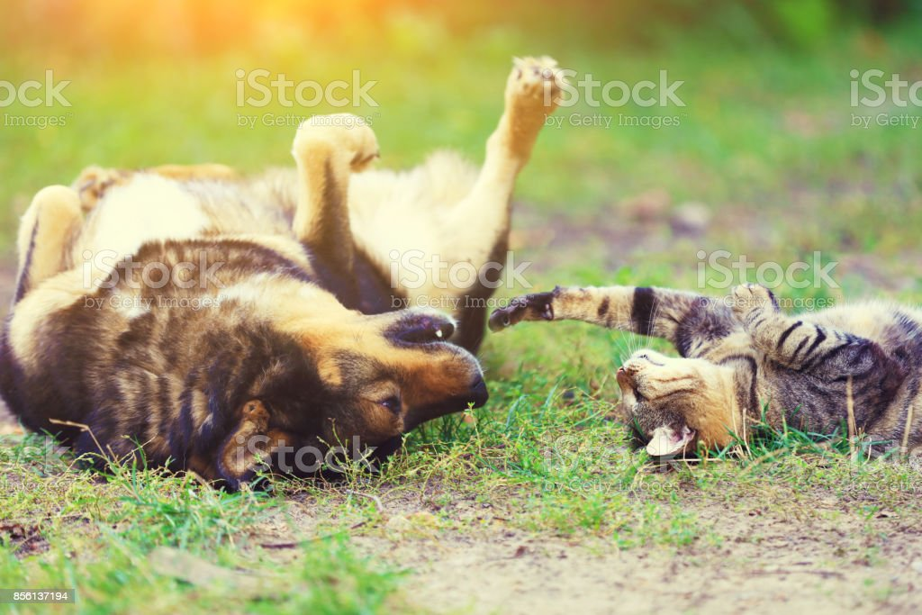 Dog and cat best friends playing together outdoor. Lying on the back on the grass. stock photo