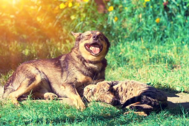 Dog and cat best friends playing together outdoor lying on the grass picture id682201318?b=1&k=6&m=682201318&s=612x612&w=0&h=o u51fql hpj f4cdbgggcc8sqgzj2divugrcvjhh k=