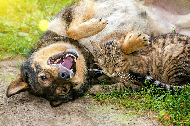 Dog and cat best friends playing together outdoor picture id477608906?b=1&k=6&m=477608906&s=612x612&w=0&h=k3kriadmohkytlb5quqolgg0e4qxon2 c9 pjai8mks=