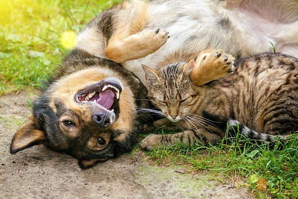 Dog and cat best friends playing together outdoor picture id477608906?b=1&k=6&m=477608906&s=612x612&w=0&h=k3kriadmohkytlb5quqolgg0e4qxon2 c9 pjai8mks=
