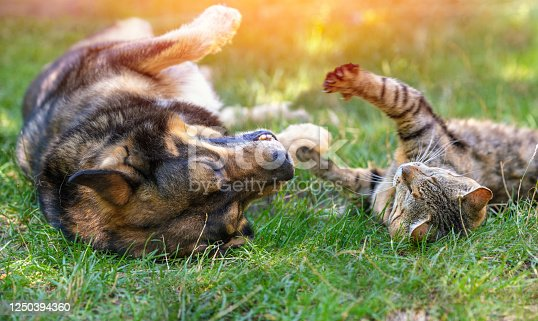istock Dog and cat best friends playing together outdoors. Lying on the back together 1250394360