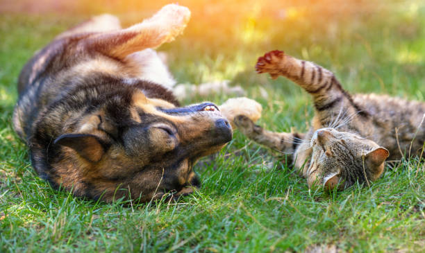 Dog and cat best friends playing together outdoors lying on the back picture id1250394360?b=1&k=6&m=1250394360&s=612x612&w=0&h=hjwqxpkaxblvq0euqwxbp9tdub4i2e8ckboqkoboiw0=