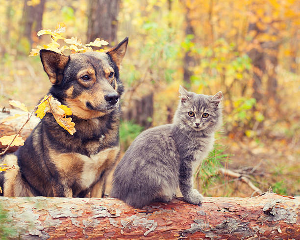 dog and cat best friends sitting together in autumn forest - otämjd katt bildbanksfoton och bilder