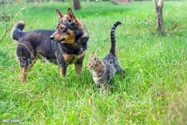 Dog and cat best friends walking together outdoor on the grass picture id682718398?b=1&k=6&m=682718398&s=612x612&h=ia6zhys25p8tjmphf50qcorra4c19bdpx xl6xv8ycu=