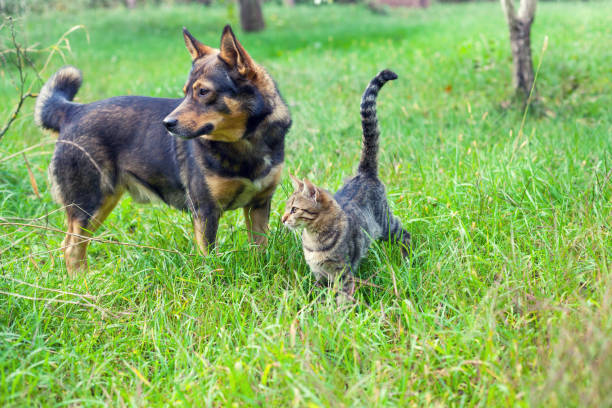 Dog and cat best friends walking together outdoor on the grass picture id682718398?b=1&k=6&m=682718398&s=612x612&w=0&h=pm65r3qe13oirhvtitfkjk6eyukvyqbzsrhh98bssom=