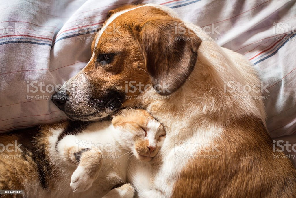 Dog and cat cuddle on bed - Royalty-free 2015 Stock Photo