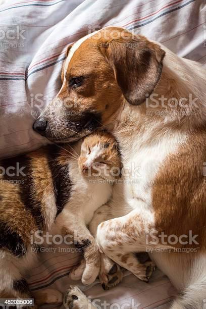Dog and cat cuddle on bed picture id482035006?b=1&k=6&m=482035006&s=612x612&h=mthjbjomkqcjxirl6uyr4xk d0qy3v9lz4uzsxy46rq=