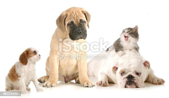 dog and cat fight - cavalier king charles spaniel, bull mastiff, english bulldog and domestic long haired kitten arguing isolated on white background
