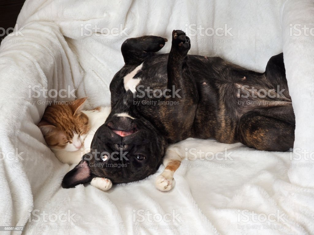 狗和貓搞笑躺在白色的毛毯 免版稅 stock photo