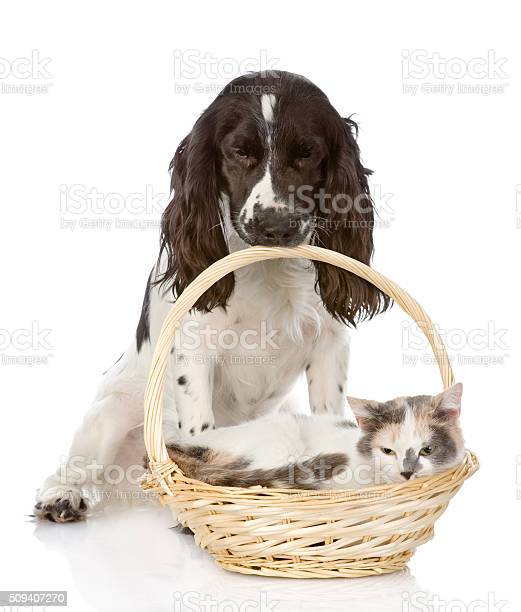Dog and cat in basket isolated on white background picture id509407270?b=1&k=6&m=509407270&s=612x612&h=p0v45o yzc6miygruiuszubqsytkdtnetwyj wuar6q=
