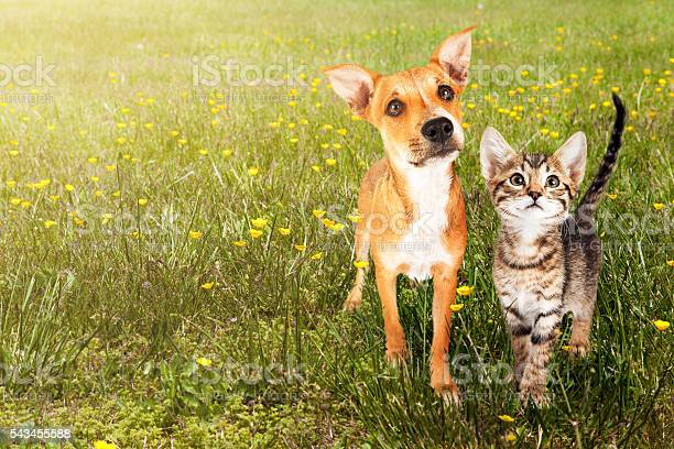 Dog and cat in open field picture id543455588?b=1&k=6&m=543455588&s=612x612&h= fgawfbf3bofbmfuu mcspnlnj5fn3lbdpkmkqcshpk=