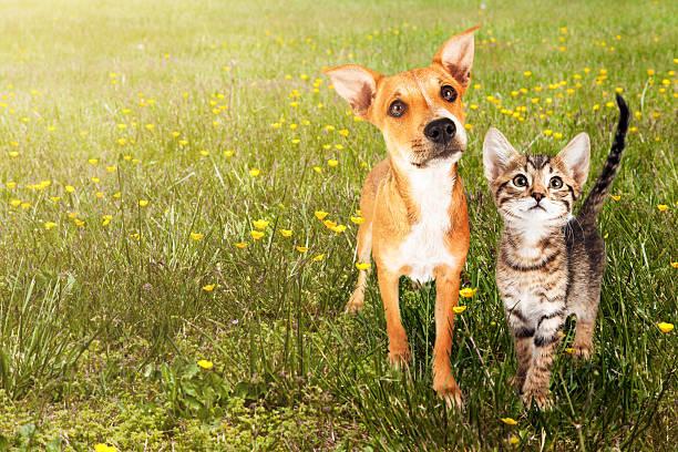 Dog and cat in open field picture id543455588?b=1&k=6&m=543455588&s=612x612&w=0&h=dgg6avjcmfbjzhfmhxhfhsiwszjyscqubvtgmzwdfse=