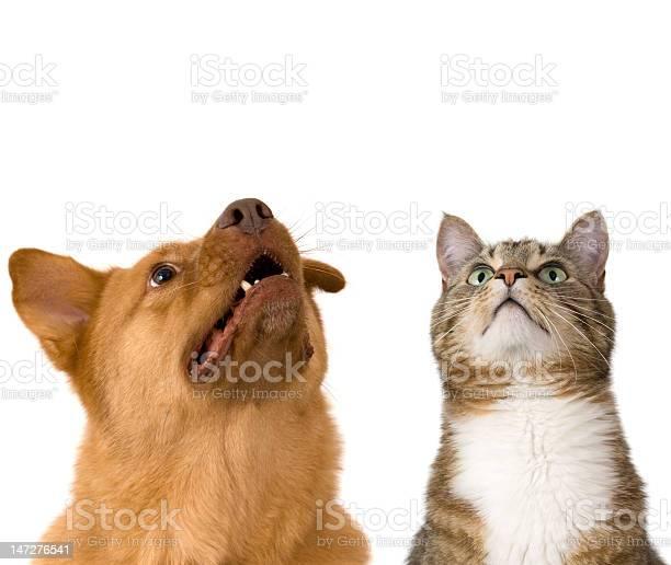 Dog and cat looking up picture id147276541?b=1&k=6&m=147276541&s=612x612&h=ntg252qxserh3h5i9ddxyv8lybp7 sli2z6c2b0rrhi=