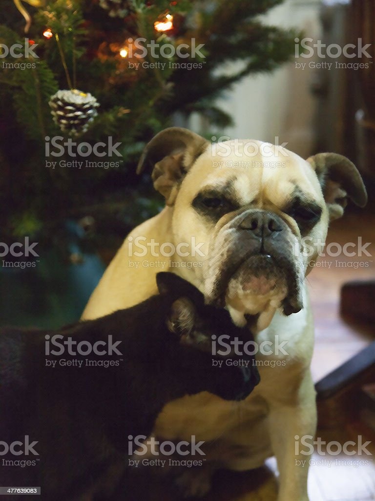 Dog and Cat Love at Christmas Time royalty-free stock photo