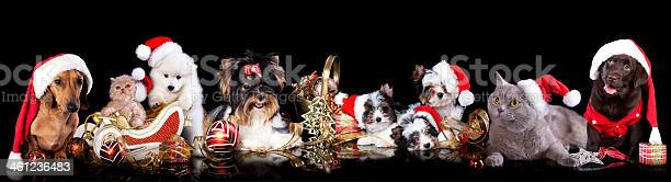 Dog and cat on the background of christmas decorations picture id461236483?b=1&k=6&m=461236483&s=612x612&h=1qz23oco m5v83i duzcabijfru x81ewgajys8xwoe=