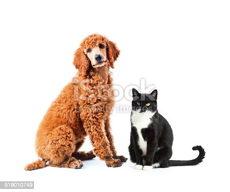 A red standard poodle puppy and a black and white medium hair cat. Two common popular domestic pets sitting together as friends posing for a portrait, both looking at the camera attentively and facing each other. Photographed on a white background in a horizontal format.