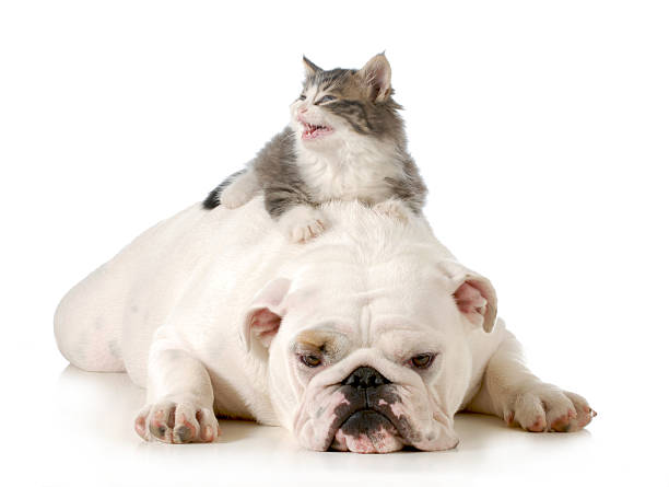 Dog and cat picture id482613505?b=1&k=6&m=482613505&s=612x612&w=0&h=n8ys8zyqgsts9q9h13ajjpsxtjitr9u626ng9cujade=