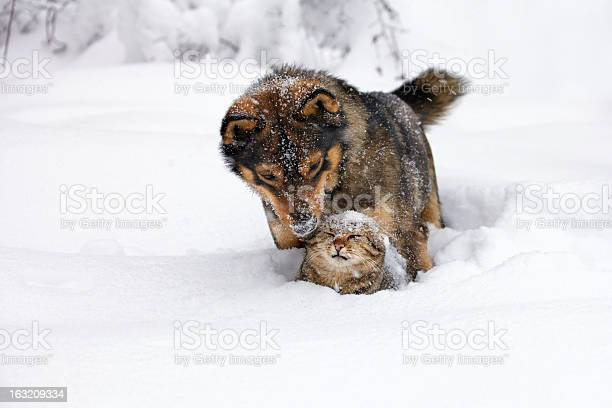 Dog and cat playing in the snow picture id163209334?b=1&k=6&m=163209334&s=612x612&h=dtn8femd8qnjrd j6zxdhpzexhn7e1mwjafcixcsk24=