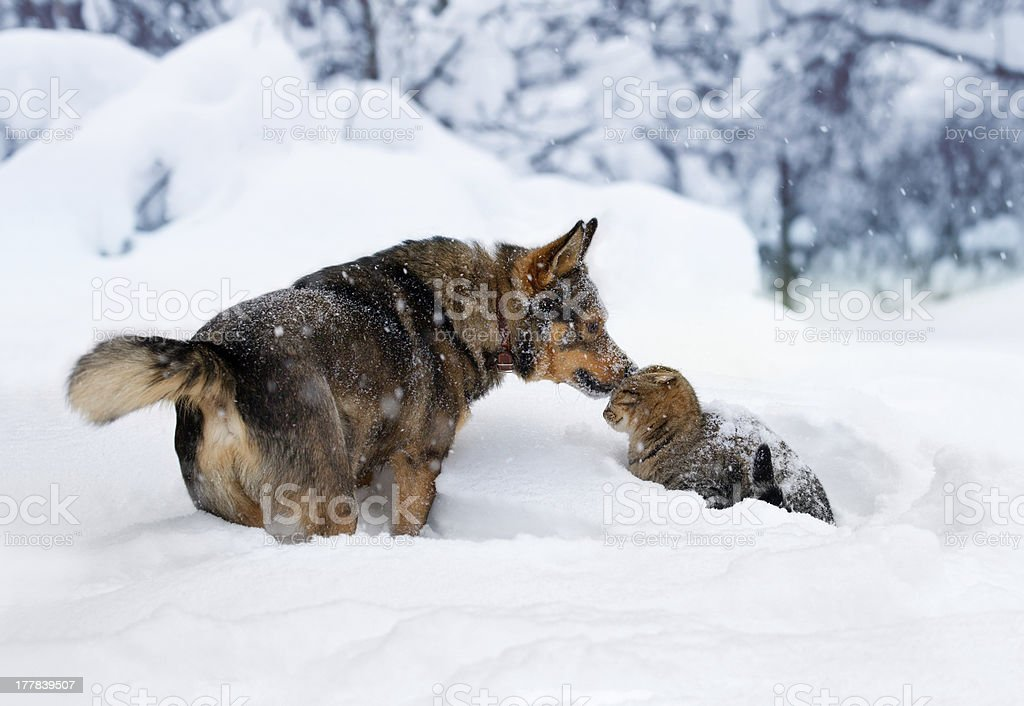 Dog and cat playing in the snow stock photo