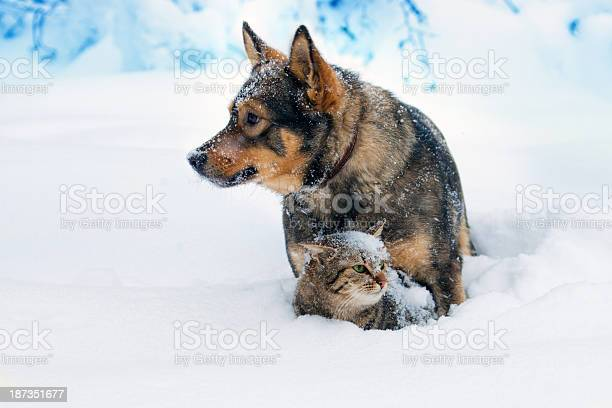Dog and cat playing in the snow picture id187351677?b=1&k=6&m=187351677&s=612x612&h=qbeit40qmqbzdcdho7srciqaf3wsjeejwjzzxe2 aa4=