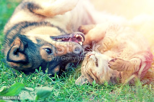 istock Dog and cat playing together on the grass at sunset 824345414