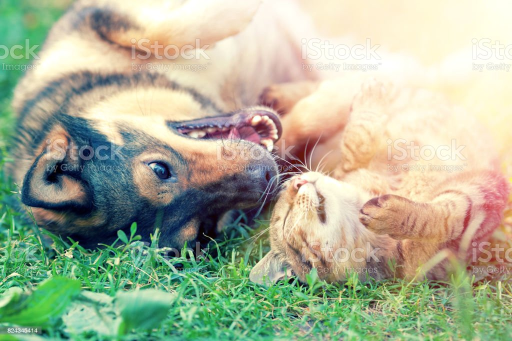 Dog and cat playing together on the grass at sunset stock photo