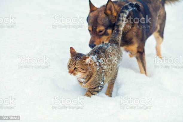 Dog and cat playing together outdoor in the snow in winter picture id683708834?b=1&k=6&m=683708834&s=612x612&h=yg7fqqe5skzl10trvdjgokvnd3dpnjnjkzixfp62i6e=