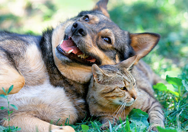 Dog and cat playing together picture id452527895?b=1&k=6&m=452527895&s=612x612&w=0&h=pn4erwakmktivh2qhknqvec4rc83lej 4dpywzxydm4=