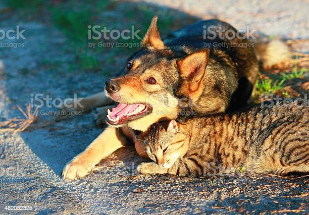 Dog and cat playing together picture id462032325?b=1&k=6&m=462032325&s=612x612&h=h9fd9rtk7ei8mdncrn lp6fjuez xqigsdxpws hag0=