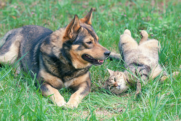 Dog and cat playing together picture id481301447?b=1&k=6&m=481301447&s=612x612&w=0&h=nlmai92nhy7ql5fhi4pm8 p86ukjvgl 7acfn1ejndg=