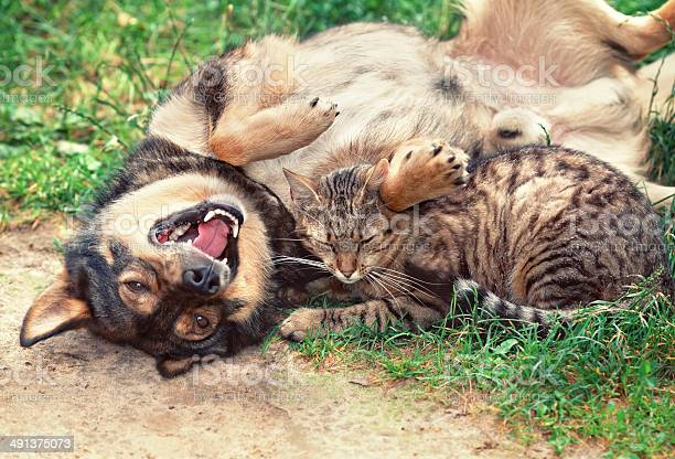 Dog and cat playing together picture id491375073?b=1&k=6&m=491375073&s=612x612&h=jr8d bxac2inwd58bigaayouhfautpwn6r1juvrajcm=