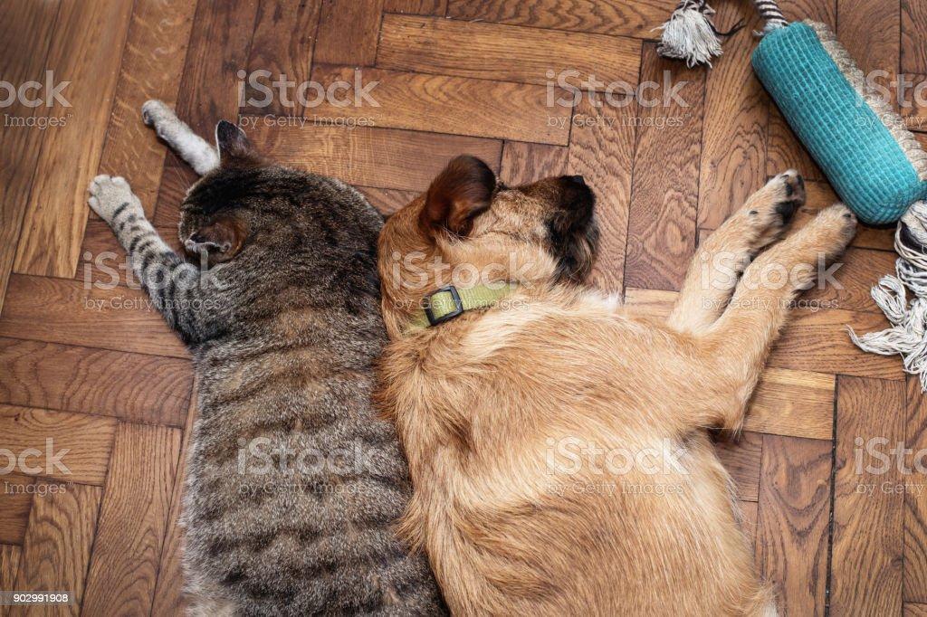 dog and cat sleep together – zdjęcie