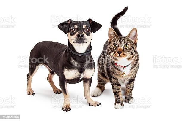 Dog and cat standing looking up together picture id468828180?b=1&k=6&m=468828180&s=612x612&h=eovbrhntzsk6 y9yzzx26ch pzgicy9mb4gzs10fhja=